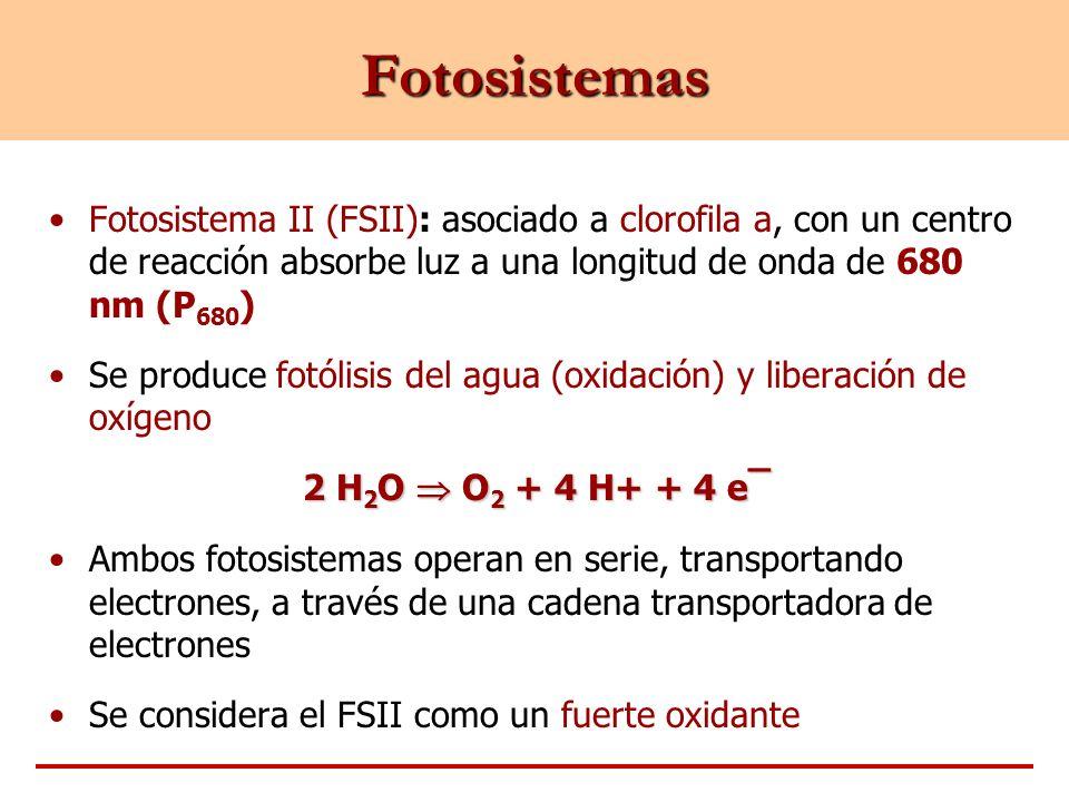 Fotosistemas Fotosistema II (FSII): asociado a clorofila a, con un centro de reacción absorbe luz a una longitud de onda de 680 nm (P 680 ) Se produce