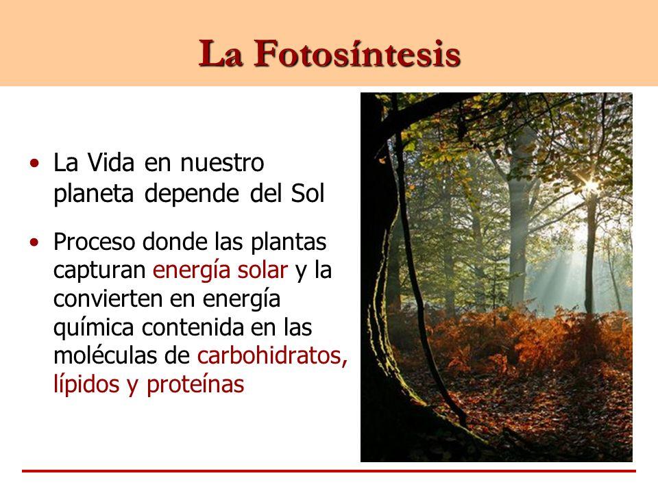 La Fotosíntesis La Vida en nuestro planeta depende del Sol Proceso donde las plantas capturan energía solar y la convierten en energía química conteni