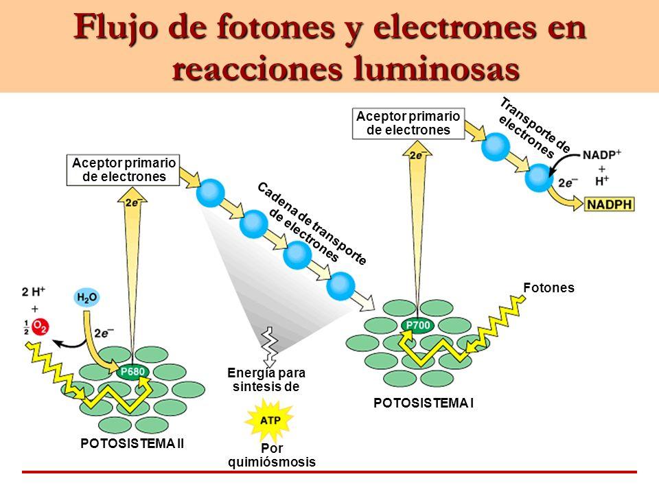 Aceptor primario de electrones Cadena de transporte de electrones Transporte de electrones Fotones POTOSISTEMA I POTOSISTEMA II Energía para sintesis