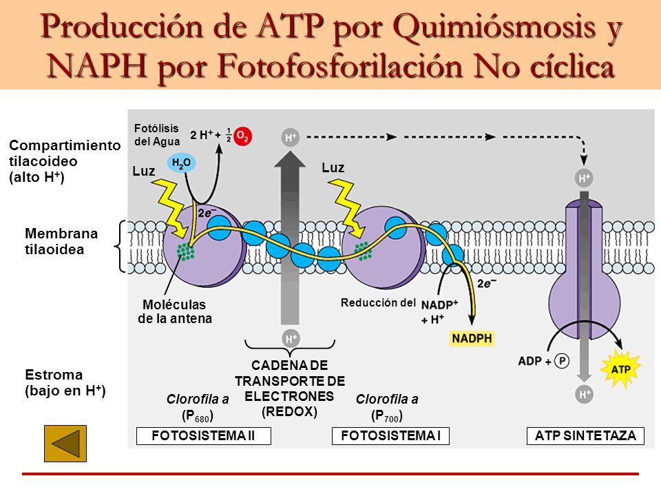 Producción de ATP por Quimiósmosis y NAPH por Fotofosforilación No cíclica Compartimiento tilacoideo (alto H + ) Membrana tilaoidea Estroma (bajo en H