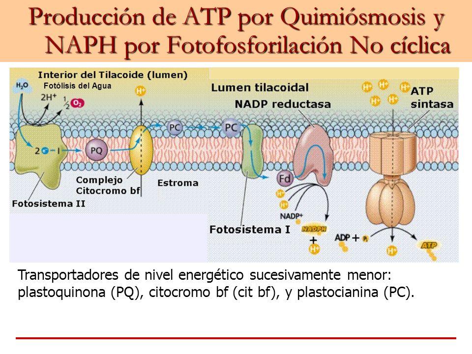 Producción de ATP por Quimiósmosis y NAPH por Fotofosforilación No cíclica Fotólisis del Agua Transportadores de nivel energético sucesivamente menor: