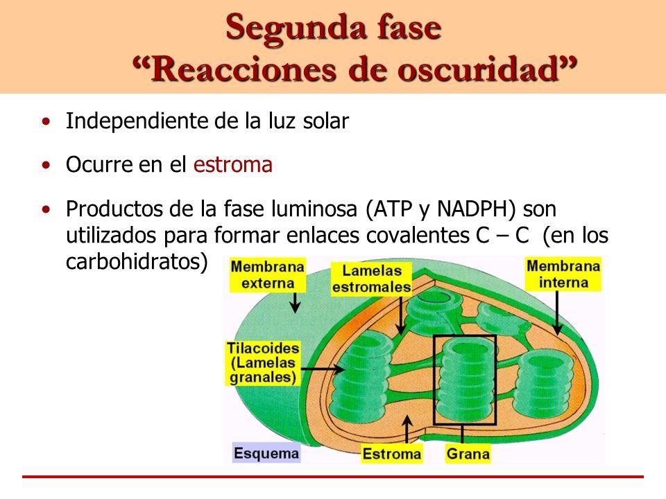 Segunda fase Reacciones de oscuridad Independiente de la luz solar Ocurre en el estroma Productos de la fase luminosa (ATP y NADPH) son utilizados par