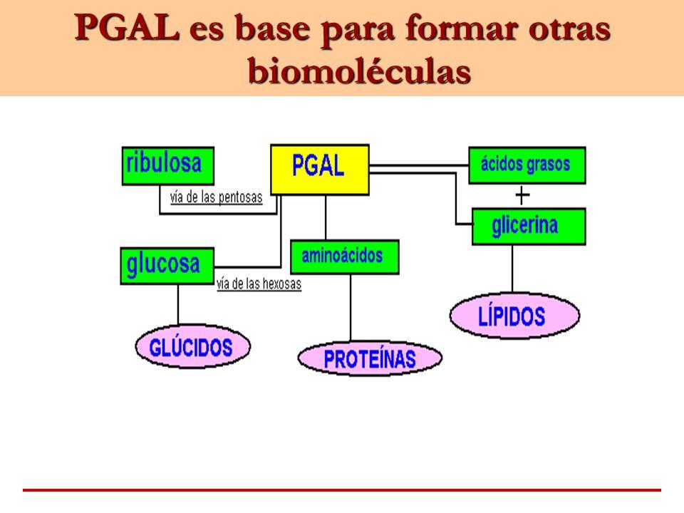 PGAL es base para formar otras biomoléculas