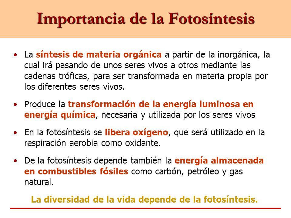 Importancia de la Fotosíntesis La síntesis de materia orgánica a partir de la inorgánica, la cual irá pasando de unos seres vivos a otros mediante las