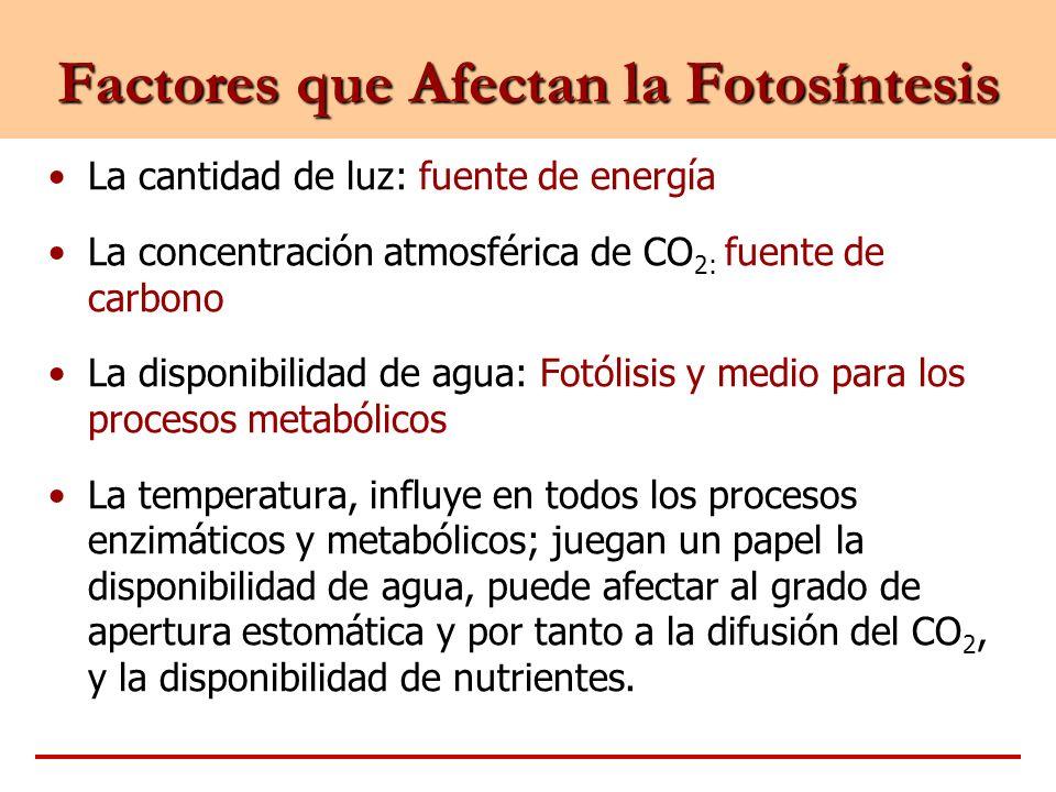 Factores que Afectan la Fotosíntesis La cantidad de luz: fuente de energía La concentración atmosférica de CO 2: fuente de carbono La disponibilidad d
