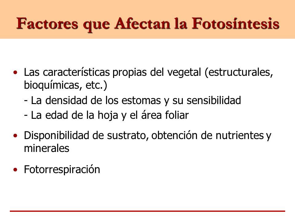 Factores que Afectan la Fotosíntesis Las características propias del vegetal (estructurales, bioquímicas, etc.) - La densidad de los estomas y su sens