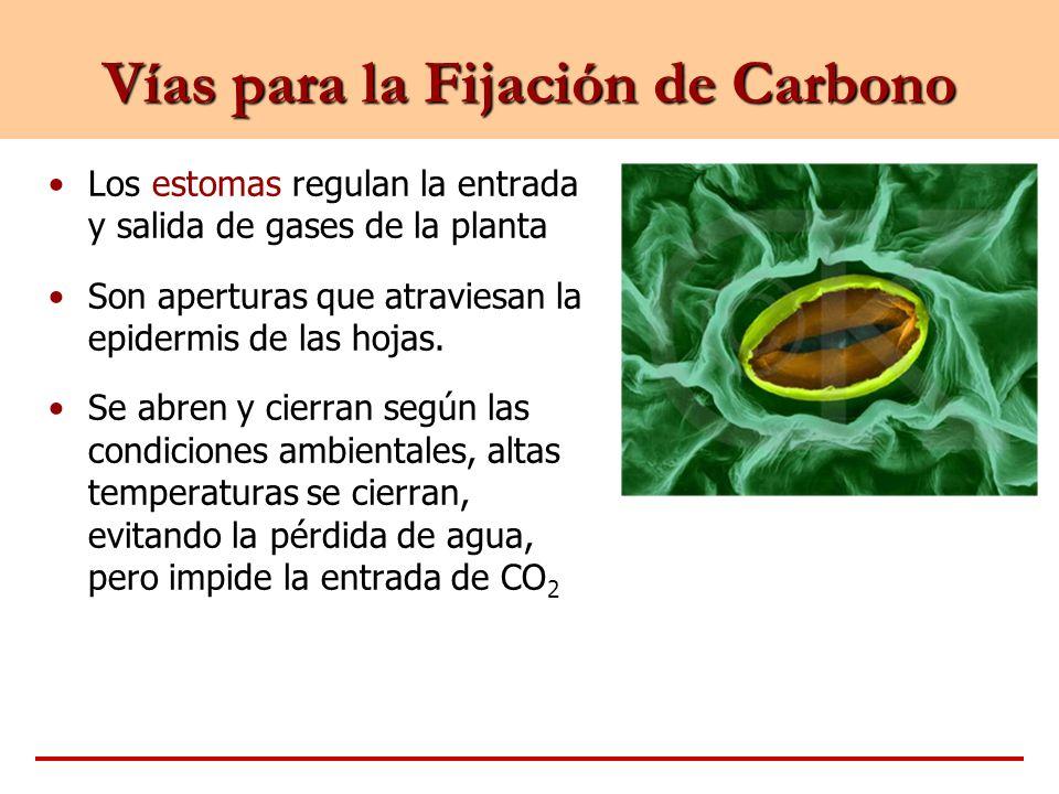 Vías para la Fijación de Carbono Los estomas regulan la entrada y salida de gases de la planta Son aperturas que atraviesan la epidermis de las hojas.