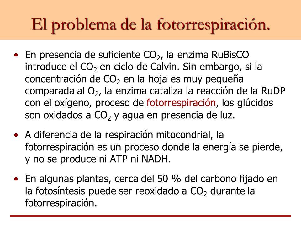 El problema de la fotorrespiración. En presencia de suficiente CO 2, la enzima RuBisCO introduce el CO 2 en ciclo de Calvin. Sin embargo, si la concen