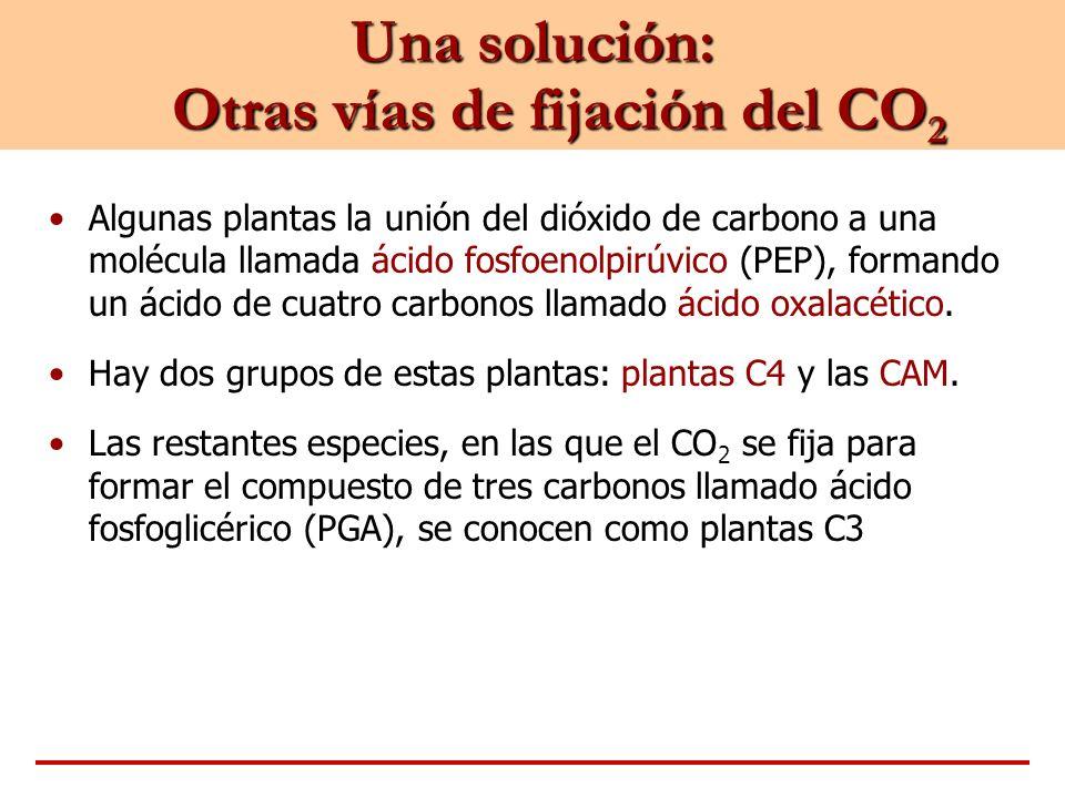 Una solución: Otras vías de fijación del CO 2 Algunas plantas la unión del dióxido de carbono a una molécula llamada ácido fosfoenolpirúvico (PEP), fo
