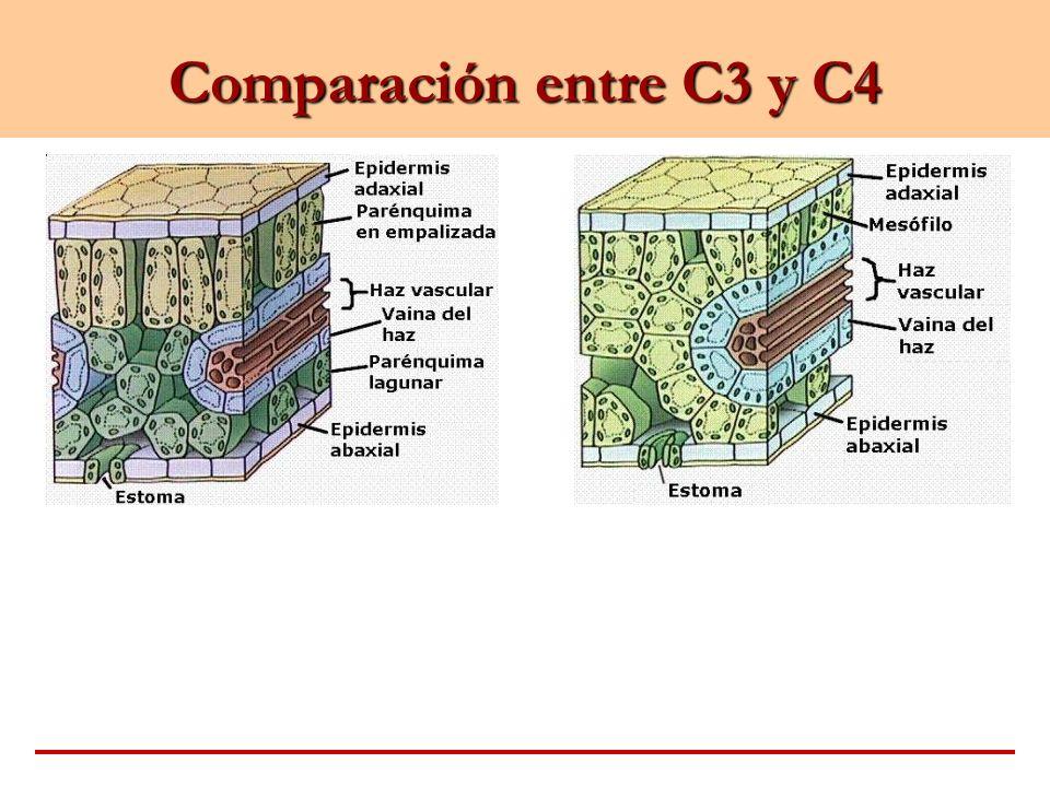 Comparación entre C3 y C4