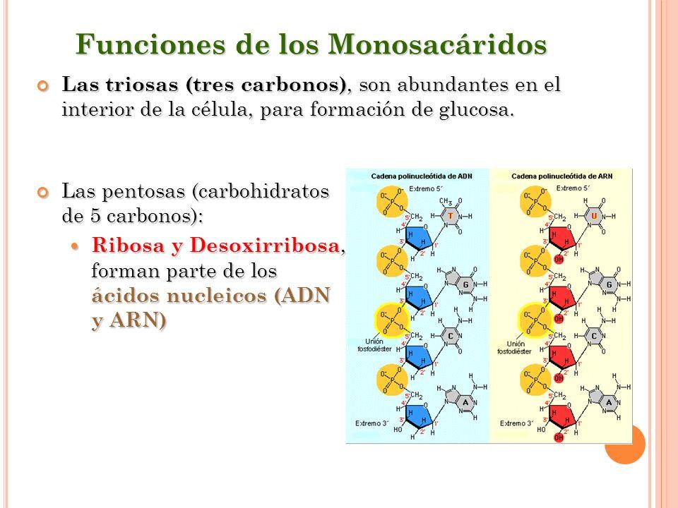 Funciones de los Monosacáridos Las triosas (tres carbonos), son abundantes en el interior de la célula, para formación de glucosa. Las triosas (tres c