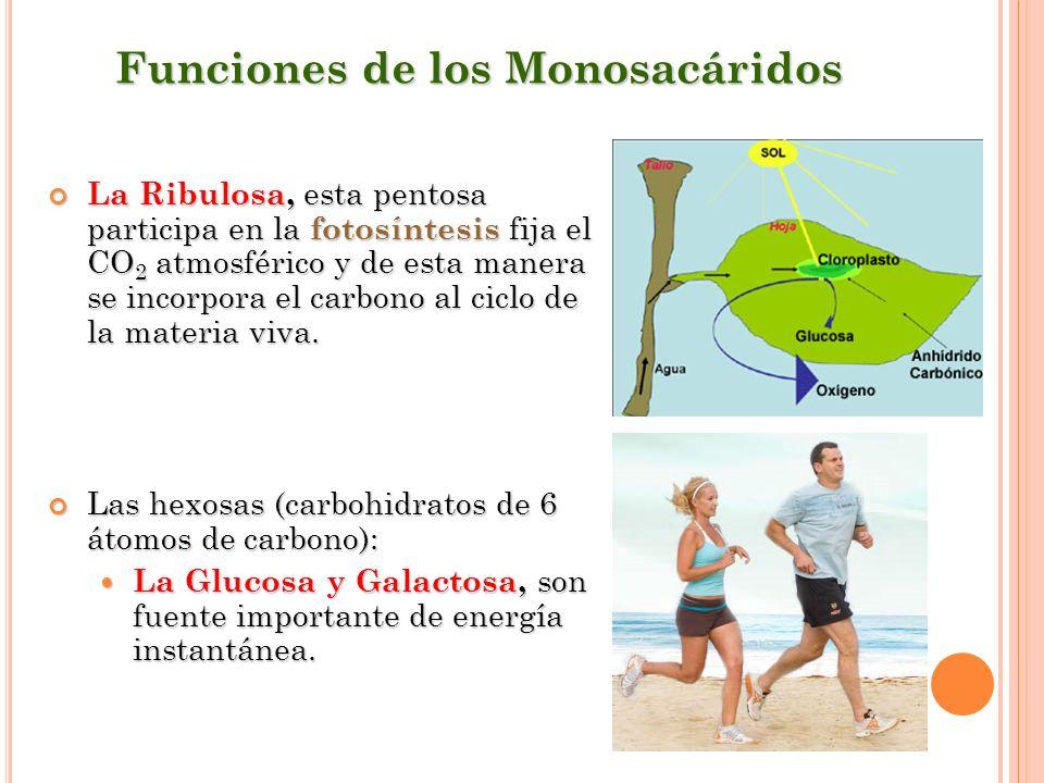 Funciones de los Monosacáridos La Ribulosa, esta pentosa participa en la fotosíntesis fija el CO 2 atmosférico y de esta manera se incorpora el carbon