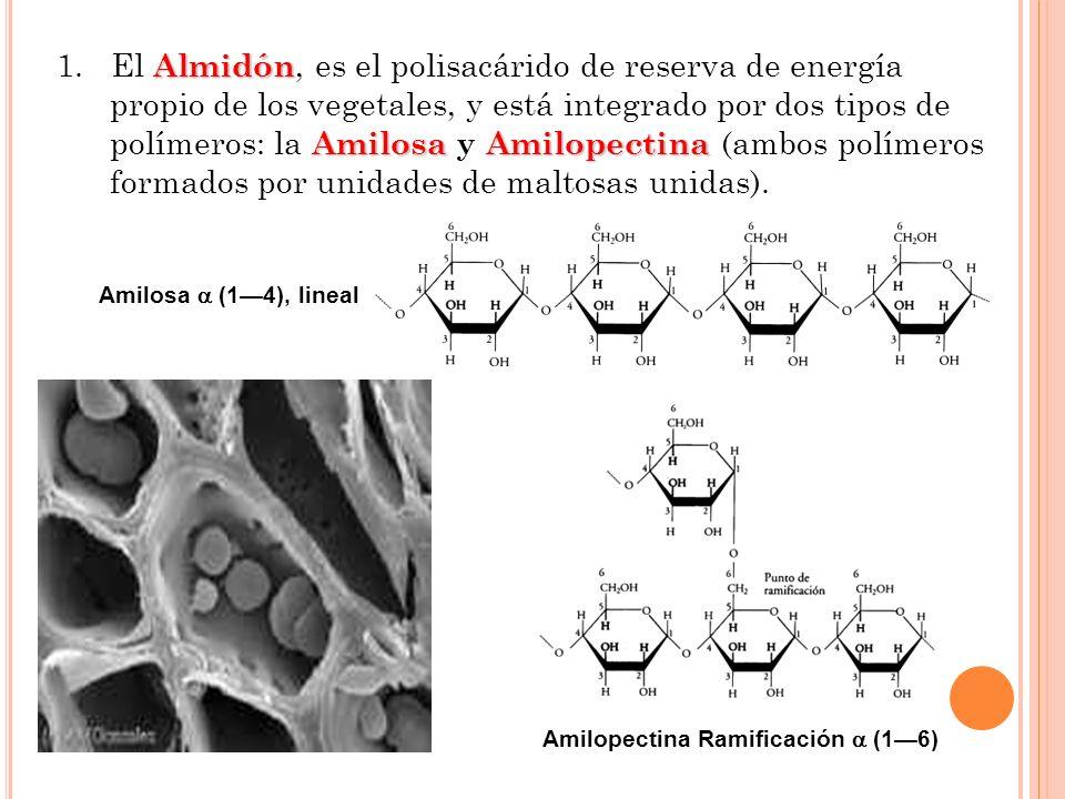 Almidón Amilosa Amilopectina 1. El Almidón, es el polisacárido de reserva de energía propio de los vegetales, y está integrado por dos tipos de políme