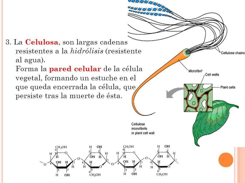 Celulosa 3. La Celulosa, son largas cadenas resistentes a la hidrólisis (resistente al agua). pared celular Forma la pared celular de la célula vegeta