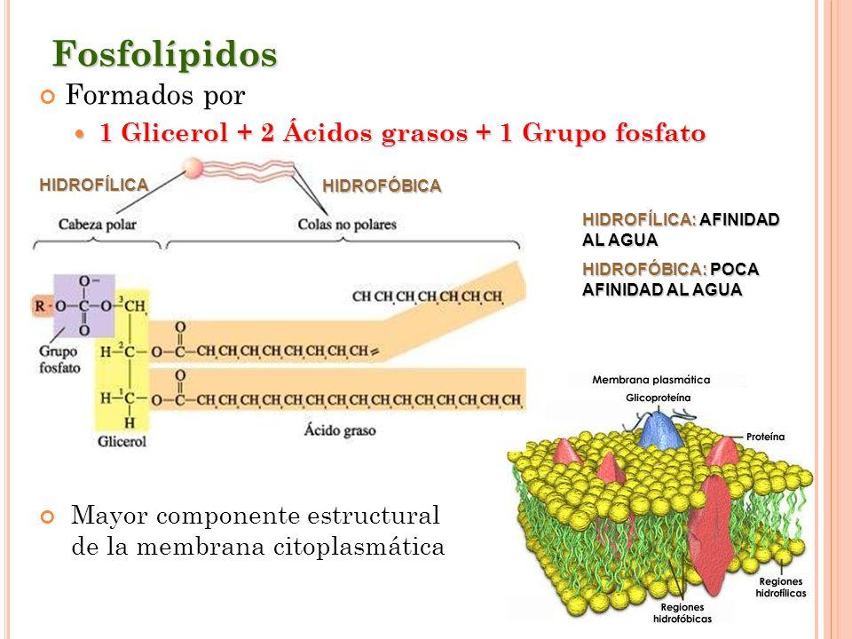 Fosfolípidos Formados por 1 Glicerol + 2 Ácidos grasos + 1 Grupo fosfato 1 Glicerol + 2 Ácidos grasos + 1 Grupo fosfato Mayor componente estructural d