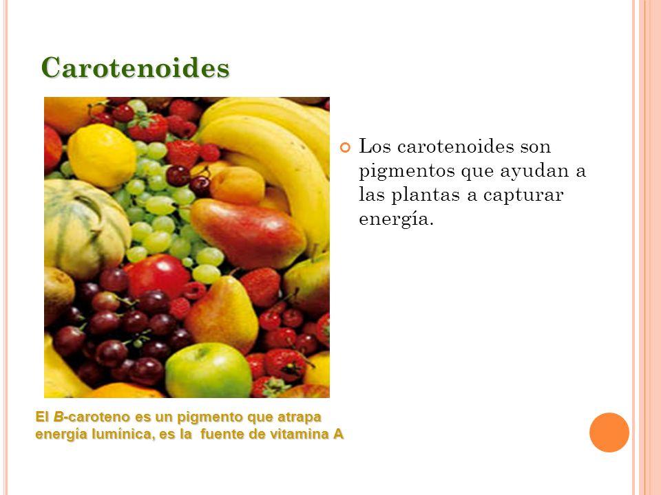 Carotenoides Los carotenoides son pigmentos que ayudan a las plantas a capturar energía. El B-caroteno es un pigmento que atrapa energía lumínica, es