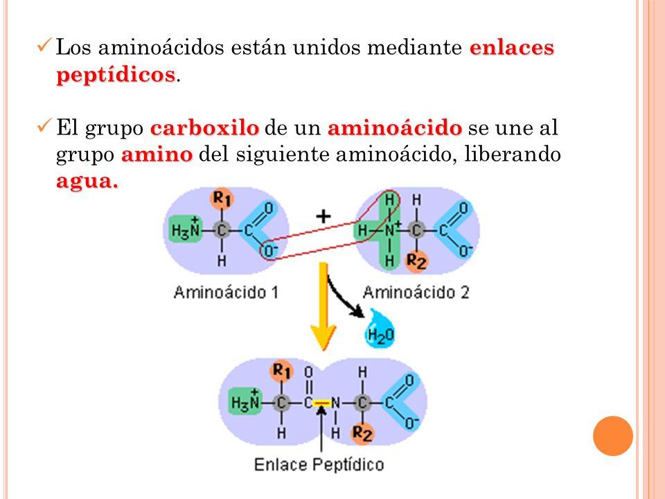 enlaces peptídicos Los aminoácidos están unidos mediante enlaces peptídicos. carboxiloaminoácido amino agua. El grupo carboxilo de un aminoácido se un
