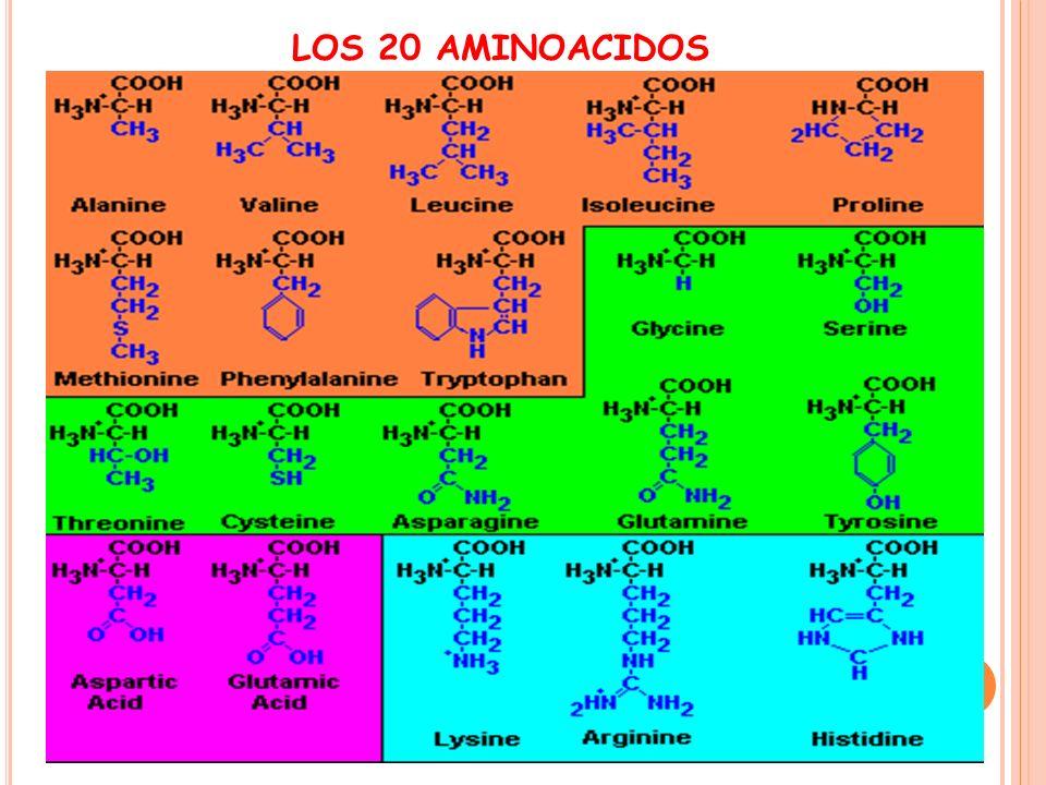 LOS 20 AMINOACIDOS