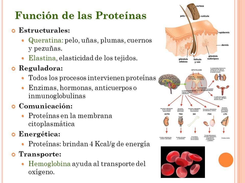 Función de las Proteínas Estructurales: Estructurales: Queratina: pelo, uñas, plumas, cuernos y pezuñas. Queratina: pelo, uñas, plumas, cuernos y pezu