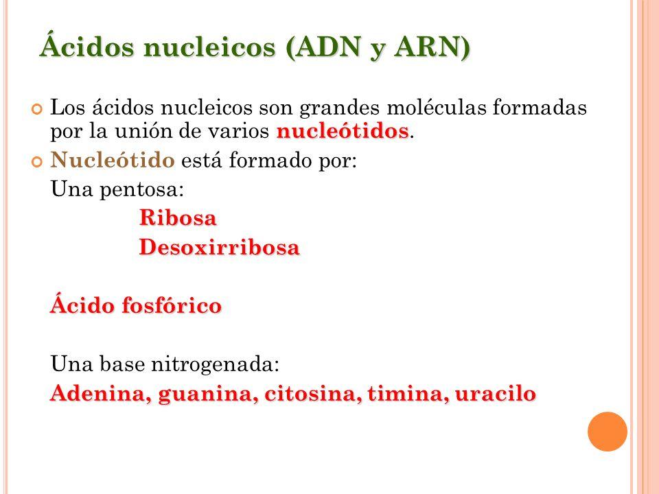 Ácidos nucleicos (ADN y ARN) nucleótidos Los ácidos nucleicos son grandes moléculas formadas por la unión de varios nucleótidos. Nucleótido está forma