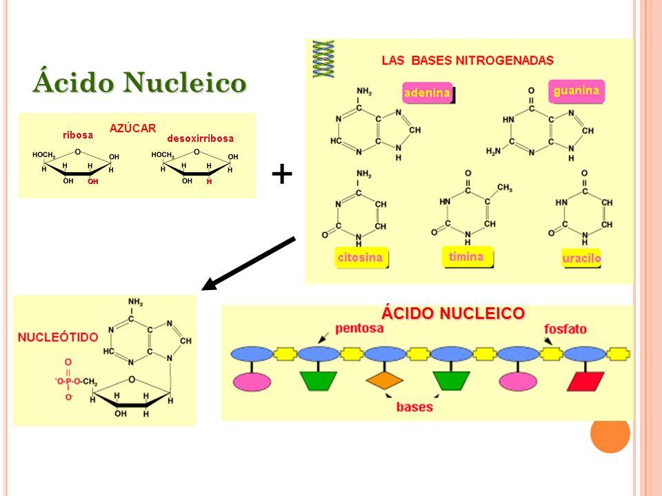 Ácido Nucleico AZÚCAR ÁCIDO NUCLEICO +