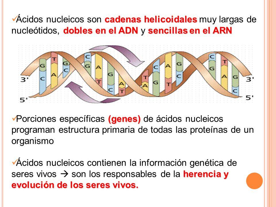 cadenas helicoidales dobles en el ADNsencillas en el ARN Ácidos nucleicos son cadenas helicoidales muy largas de nucleótidos, dobles en el ADN y senci