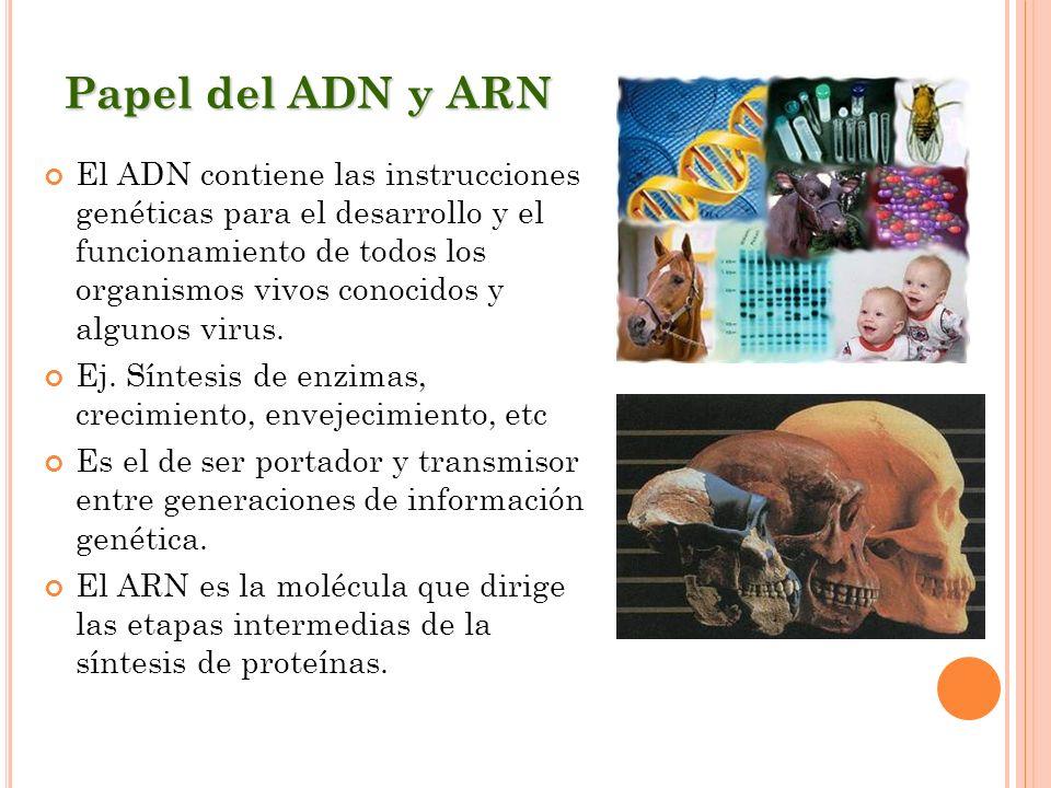 Papel del ADN y ARN El ADN contiene las instrucciones genéticas para el desarrollo y el funcionamiento de todos los organismos vivos conocidos y algun