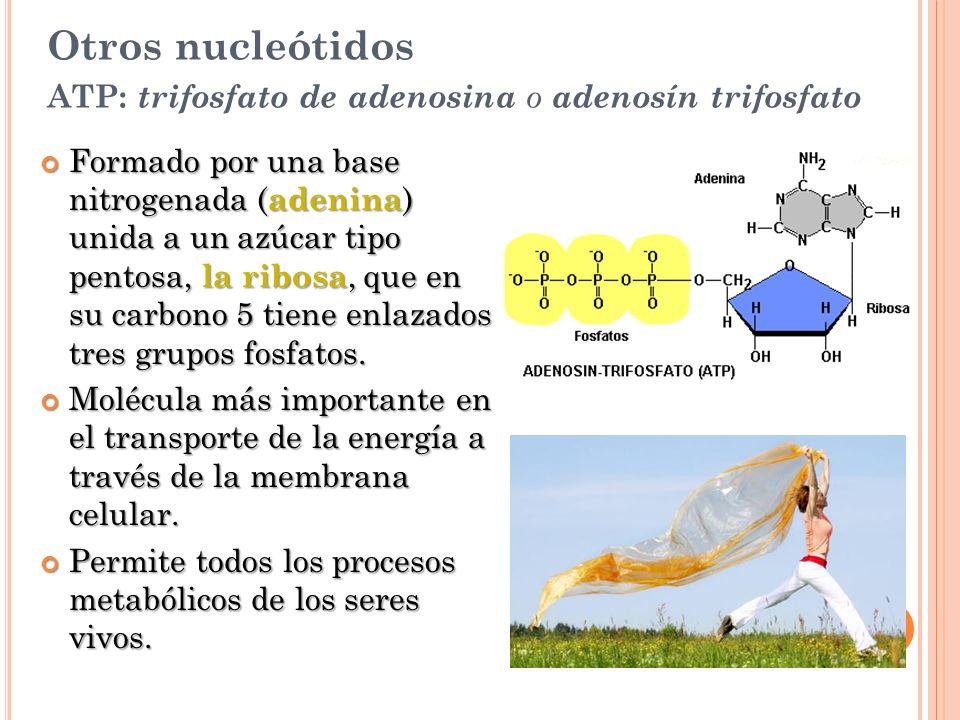Otros nucleótidos ATP: trifosfato de adenosina o adenosín trifosfato Formado por una base nitrogenada ( adenina ) unida a un azúcar tipo pentosa, la r