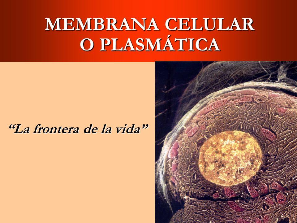 Estructura de la Membrana Celular El grosor de la membrana es 7.5 a 10 nanómetros (nm) = 10 -6 mm.El grosor de la membrana es 7.5 a 10 nanómetros (nm) = 10 -6 mm.