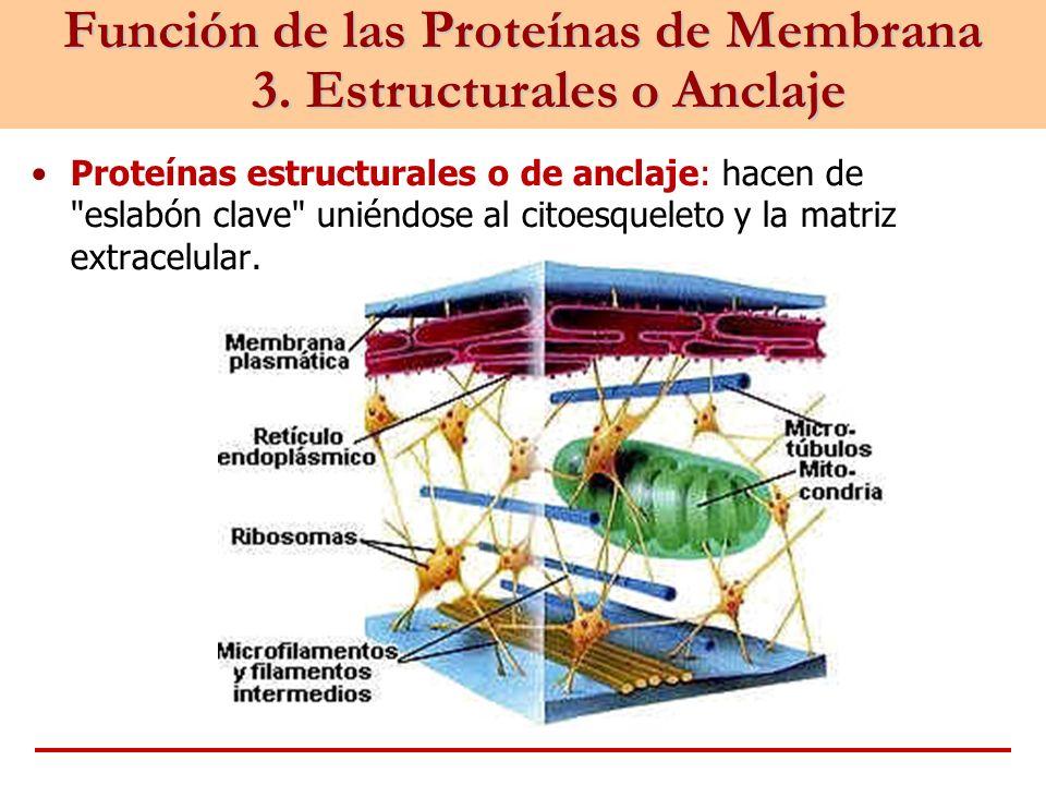 Función de las Proteínas de Membrana 3. Estructurales o Anclaje Proteínas estructurales o de anclaje: hacen de