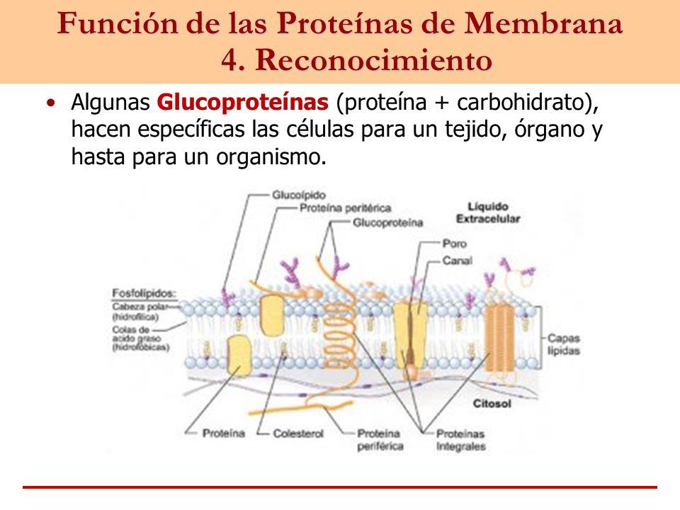 Función de las Proteínas de Membrana 4. Reconocimiento Algunas Glucoproteínas (proteína + carbohidrato), hacen específicas las células para un tejido,