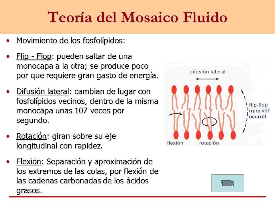Teoría del Mosaico Fluido Movimiento de los fosfolípidos:Movimiento de los fosfolípidos: Flip - Flop: pueden saltar de una monocapa a la otra; se prod