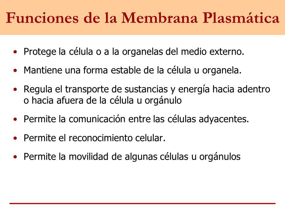 Funciones de la Membrana Plasmática Protege la célula o a la organelas del medio externo. Mantiene una forma estable de la célula u organela. Regula e