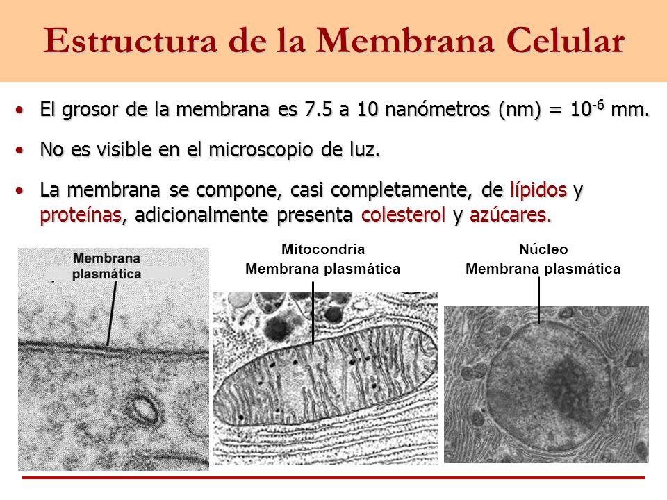Estructura de la Membrana Celular El grosor de la membrana es 7.5 a 10 nanómetros (nm) = 10 -6 mm.El grosor de la membrana es 7.5 a 10 nanómetros (nm)