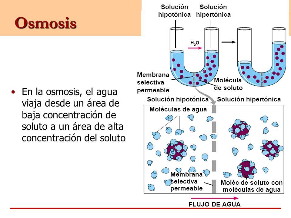 Osmosis En la osmosis, el agua viaja desde un área de baja concentración de soluto a un área de alta concentración del soluto Solución hipotónica Molé