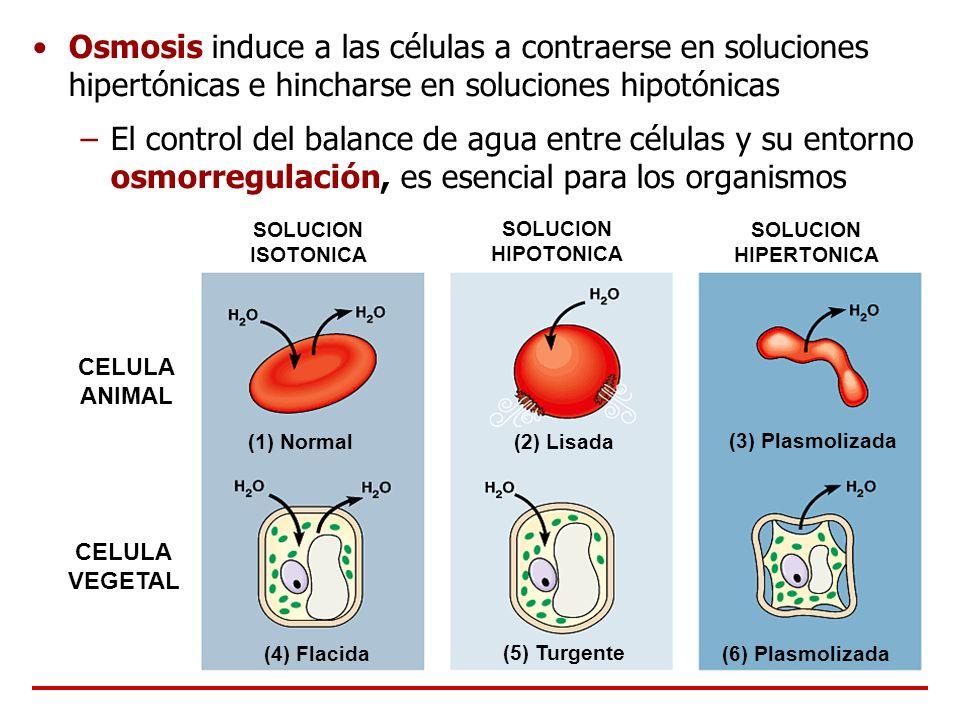 Osmosis induce a las células a contraerse en soluciones hipertónicas e hincharse en soluciones hipotónicas –El control del balance de agua entre célul