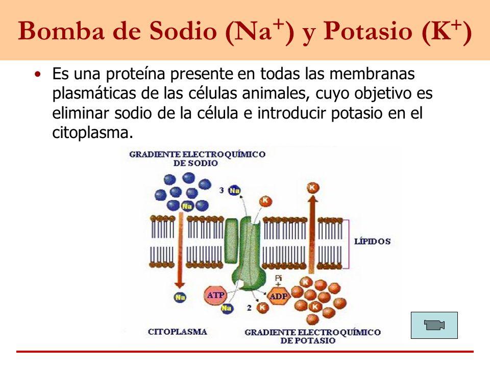 Bomba de Sodio (Na + ) y Potasio (K + ) Es una proteína presente en todas las membranas plasmáticas de las células animales, cuyo objetivo es eliminar