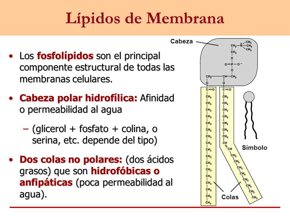 Fosfolípidos Cabezas hidrofílicas Colas hidrofóbicas Líquido intersticial Exterior de la Célula Citoplasma Interior de la Célula –Las cabezas hidrofílicas se ubican hacia afuera y sus colas hidrofóbicas se ubican hacia adentro de la célula.