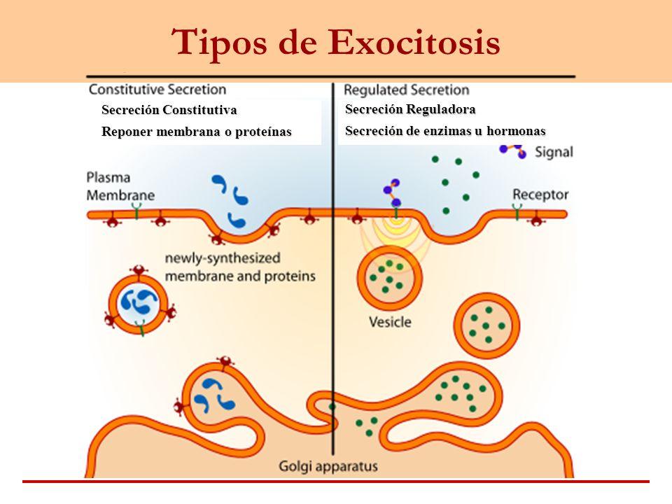 Tipos de Exocitosis Secreción Constitutiva Reponer membrana o proteínas Secreción Reguladora Secreción de enzimas u hormonas