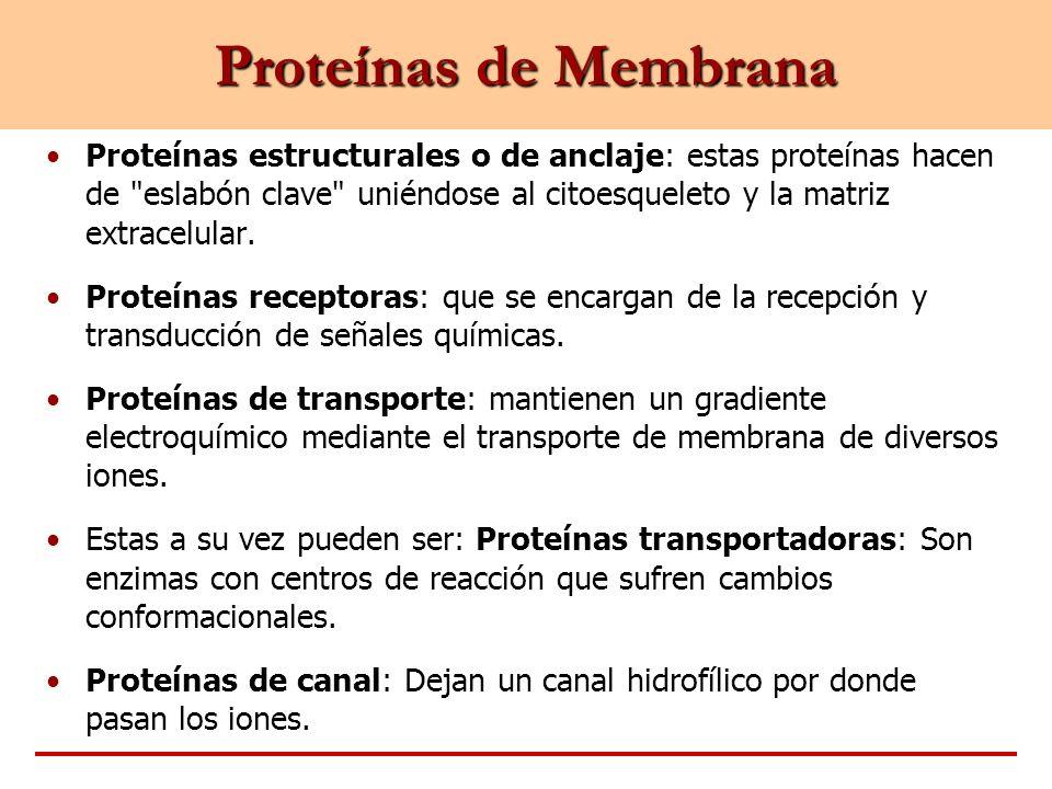 Proteínas de Membrana Proteínas estructurales o de anclaje: estas proteínas hacen de