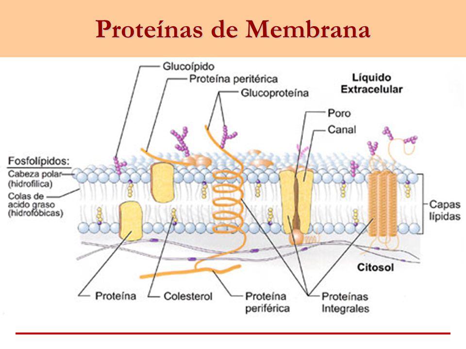 Función de las Proteínas de Membrana 1.