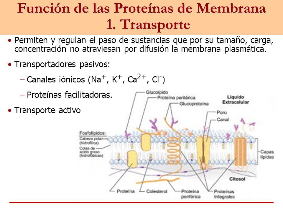 Función de las Proteínas de Membrana 1. Transporte Permiten y regulan el paso de sustancias que por su tamaño, carga, concentración no atraviesan por