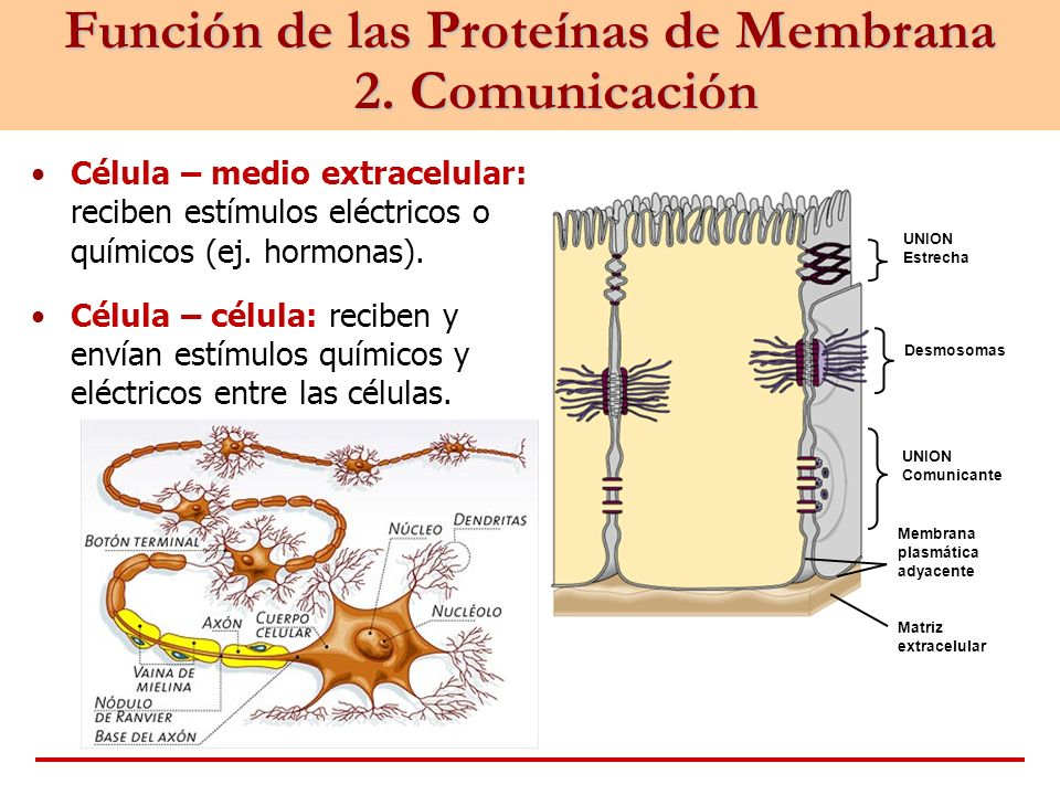 Función de las Proteínas de Membrana 2. Comunicación Célula – medio extracelular: reciben estímulos eléctricos o químicos (ej. hormonas). Célula – cél