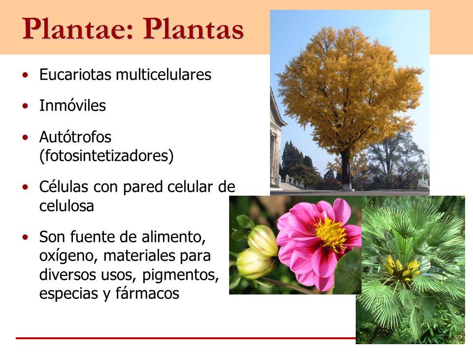 Plantae: Plantas Eucariotas multicelulares Inmóviles Autótrofos (fotosintetizadores) Células con pared celular de celulosa Son fuente de alimento, oxí