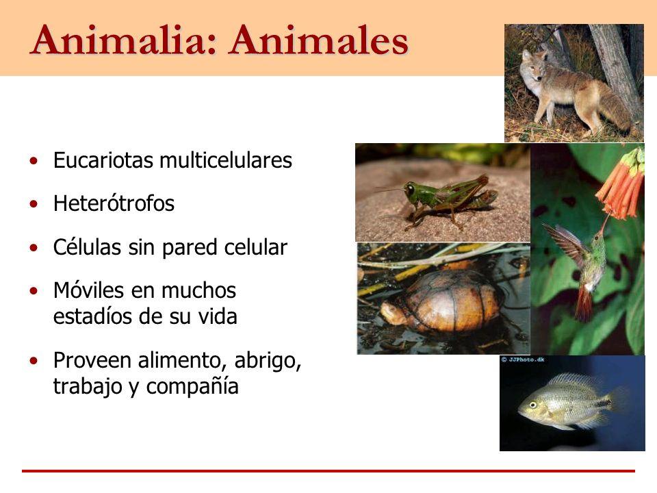 Animalia: Animales Eucariotas multicelulares Heterótrofos Células sin pared celular Móviles en muchos estadíos de su vida Proveen alimento, abrigo, tr