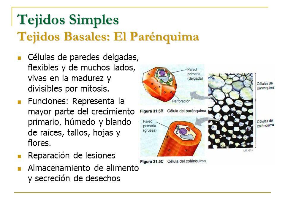 Tejidos Simples Tejidos Basales: El Parénquima Células de paredes delgadas, flexibles y de muchos lados, vivas en la madurez y divisibles por mitosis.