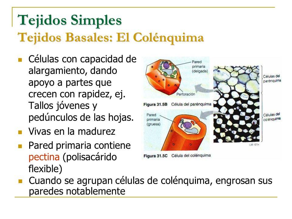 Tejidos Simples Tejidos Basales: El Colénquima Células con capacidad de alargamiento, dando apoyo a partes que crecen con rapidez, ej. Tallos jóvenes