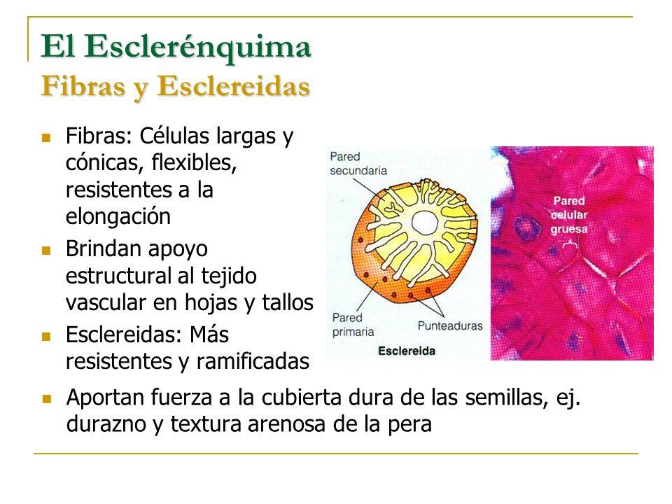El Esclerénquima Fibras y Esclereidas Fibras: Células largas y cónicas, flexibles, resistentes a la elongación Brindan apoyo estructural al tejido vas