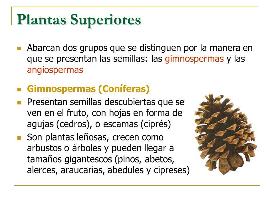 Plantas Superiores Abarcan dos grupos que se distinguen por la manera en que se presentan las semillas: las gimnospermas y las angiospermas Gimnosperm