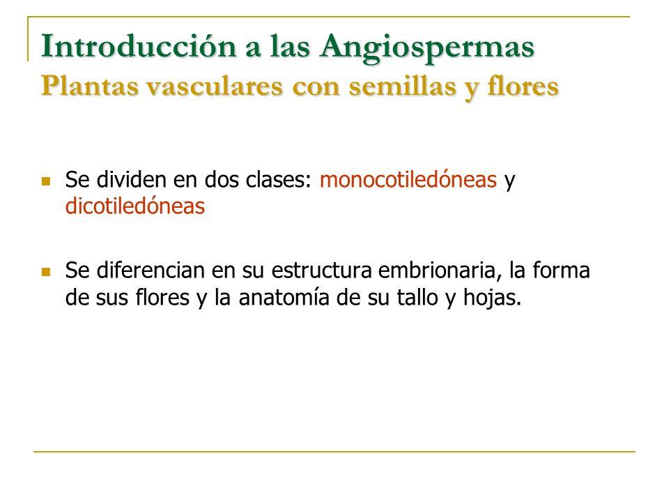 Introducción a las Angiospermas Plantas vasculares con semillas y flores Se dividen en dos clases: monocotiledóneas y dicotiledóneas Se diferencian en